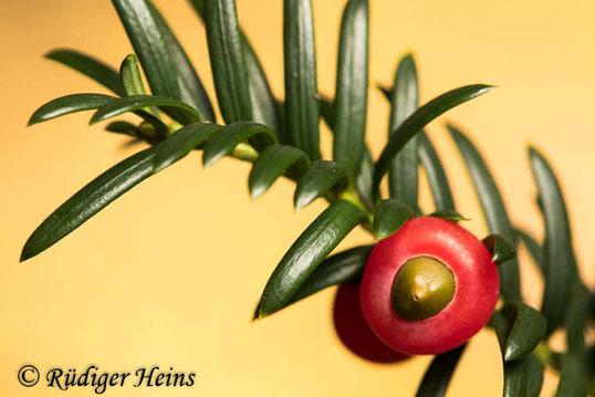 Europäische Eibe (Taxus baccata) mit Frucht