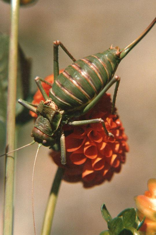 Dalia con insecto (chicharra ) Huerto de la Poza. Foto de Merche. P. Privada. Secuencia - 1
