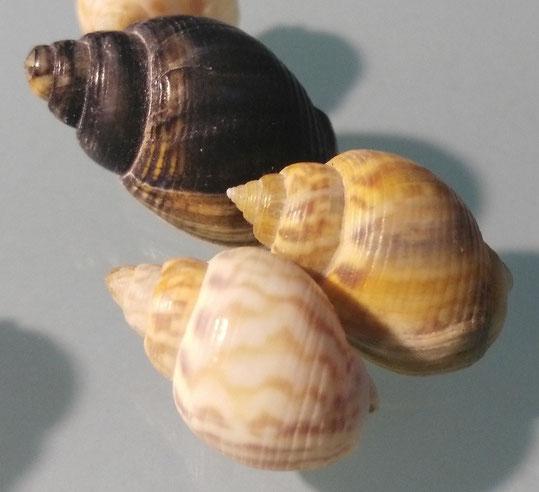 Nassarius mutabilis, riviera romagnola