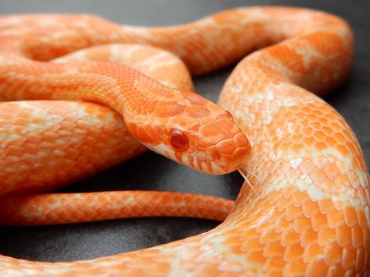 Mandarin Kornnatter