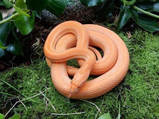 Mandarin Tessera motley~striped Kornnatter