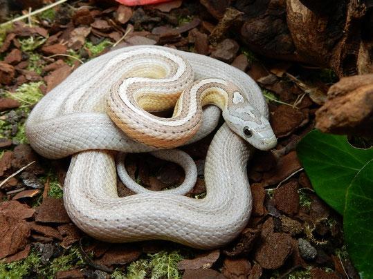 Ghost Tessera motley~striped Kornnatter