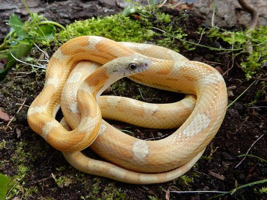 Kornnatter Honey motley~striped (Sunkissed Caramel)