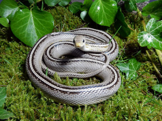 Kornnatter Anerythristic Tessera motley~striped