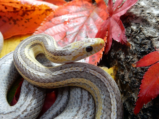 Kornnatter Ultramel Anerythristic Tessera motley or. motley~striped