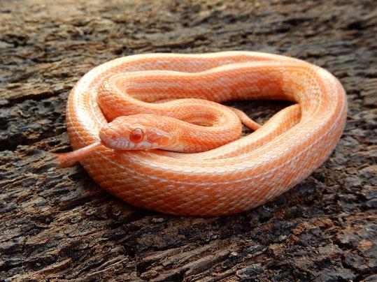 Kornnatter Mandarin Tessera ph./hom. Buff