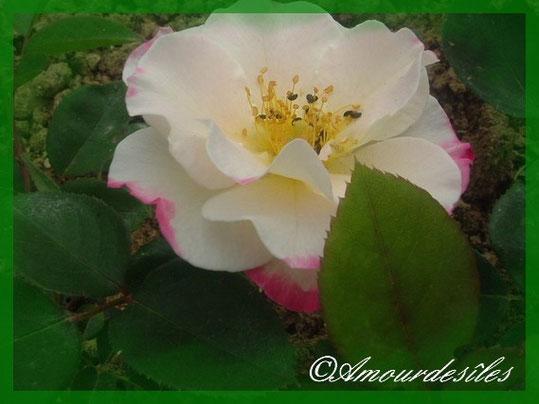 Très belle rose au parfum envoûtant de chez ma Cousine...