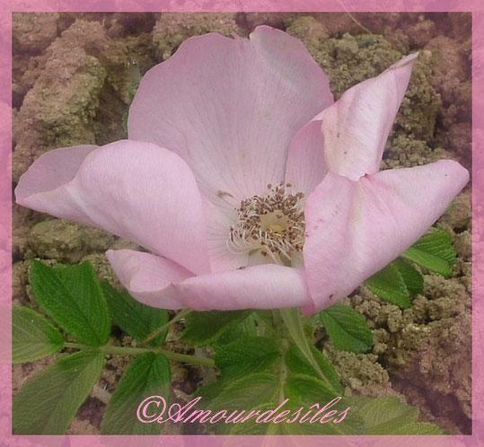Une autre rose d'une très belle couleur pastelle...