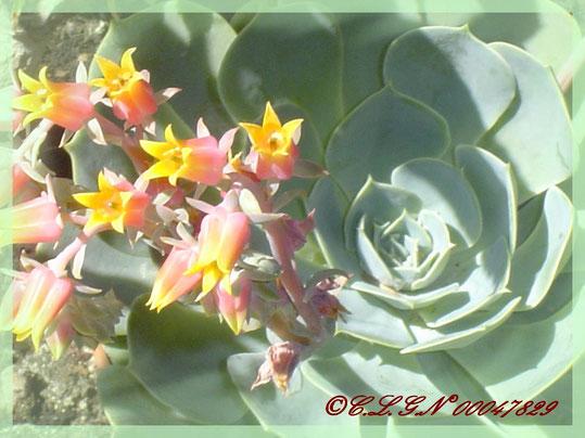 Ma Joubarbe en fleurs ce printemps 2009...