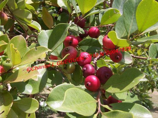 Et ses beaux fruits rouges intense au goût sucré et acidulé, très laxatif et très riches en vitamines C...