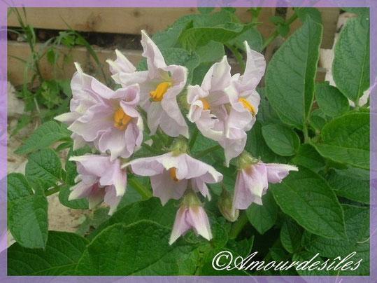 Des fleurs de pomme de terre, moi je les trouve très jolies!