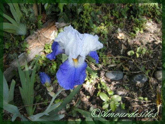 Très bel Iris blanc et mauve