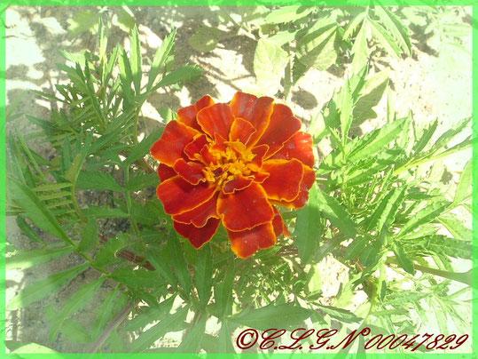 Superbe Oeillet d'Inde rouge écarlate!