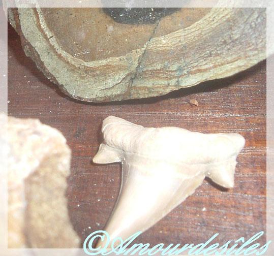 DENT de Requin Fossillisé