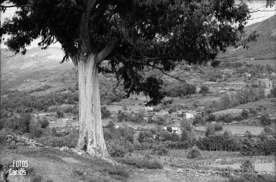 1958-Lamela-Eucalipto1-Carlos-Diaz-Gallego-asfotosdocarlos.com