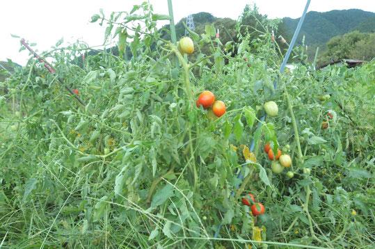 トマト 自然栽培 固定種 農業体験 野菜作り教室 体験農場
