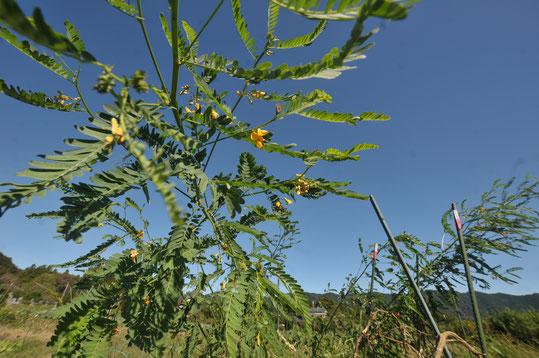 セスバニア 緑肥 自然栽培 農業体験 体験農場 野菜作り教室