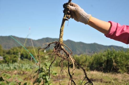 トマト 固定種 自然栽培 農業体験 体験農場 野菜作り教室  さとやま農学校