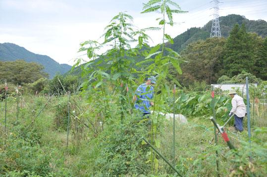 セスバニア 自然栽培 農業体験 体験農場 野菜作り教室