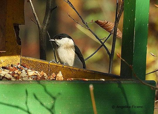 Sumpfmeise (Poecile palustris), Nonnenmeise, Meise, Vogel, Tierportraits, tierspuren.at    © Mag. Angelika Ficenc