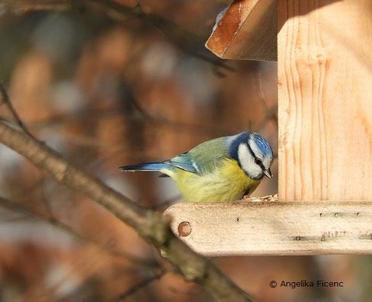 Blaumeise, Winter , tierpsuren.at    © Mag. Angelika Ficenc