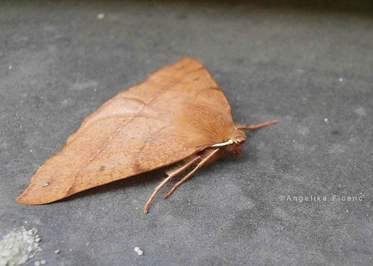 Federfühler Herbstspanner (Colotois pennaria), © Mag. Angelika Ficenc