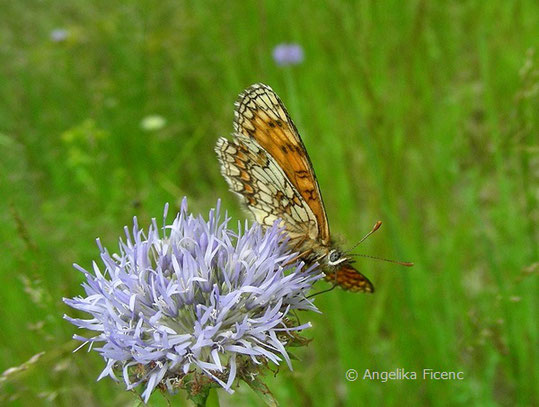 Wachtelweizen Scheckenfalter (Melitaea athalia),  © Mag. Angelika Ficenc