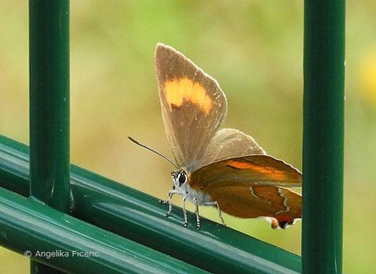 Nierenfleck-Zipfelfalter (Thecla betulae), © Mag. Angelika Ficenc