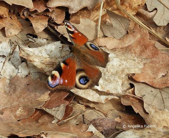 Tagpfauenauge (Inachis io),  tierspuren.at  © Mag. Angelika Ficenc
