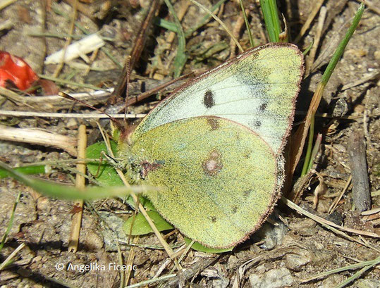 Goldene Acht (Colias hyale),  © Mag. Angelika Ficenc