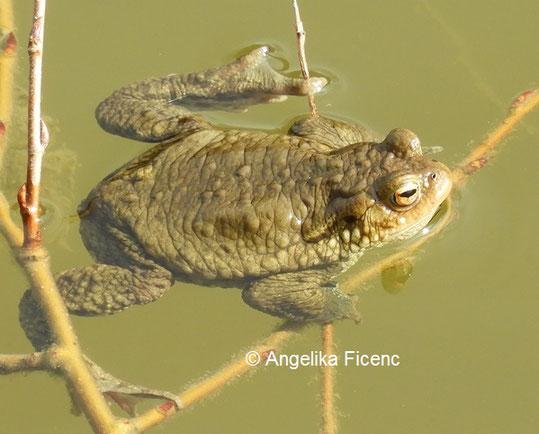 Erdkröte  © Mag. Angelika Ficenc