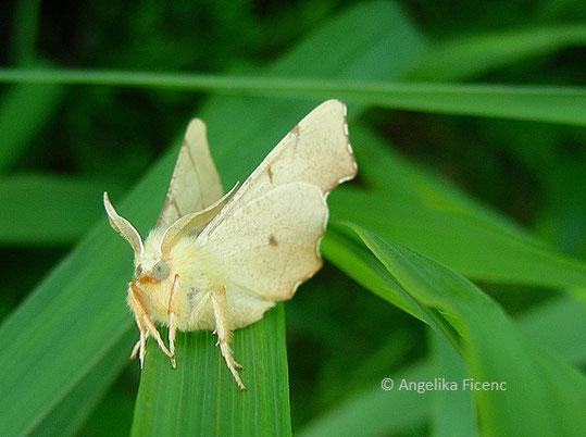 Birken-Zackenrandspanner (Ennomos erosaria), © Mag. Angelika Ficenc