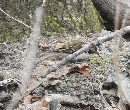 Waldbaumläufer (Certhia familiaris) © Mag. Angelika Ficenc