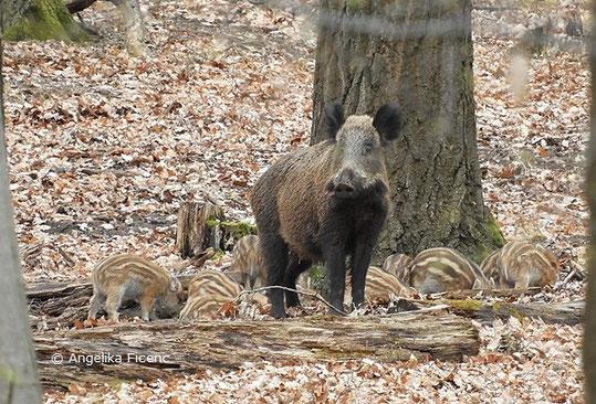 Wildschwein, Frischlinge   © Mag. Angelika Ficenc