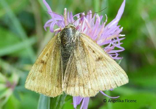 Braune Tageule (Euclidia glyphica), © Mag. Angelika Ficenc