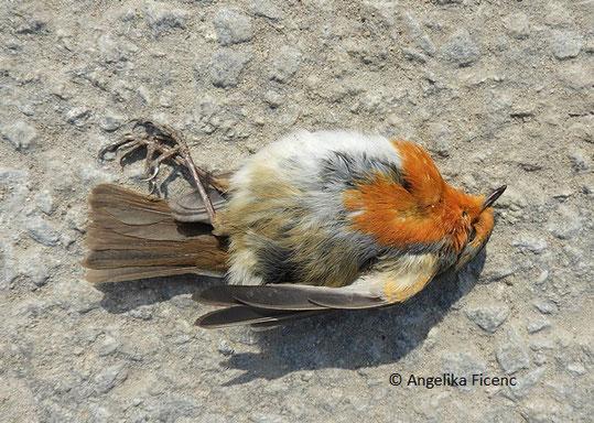 Rotkehlchen (Erithacus rubecula),   © Mag. Angelika Ficenc