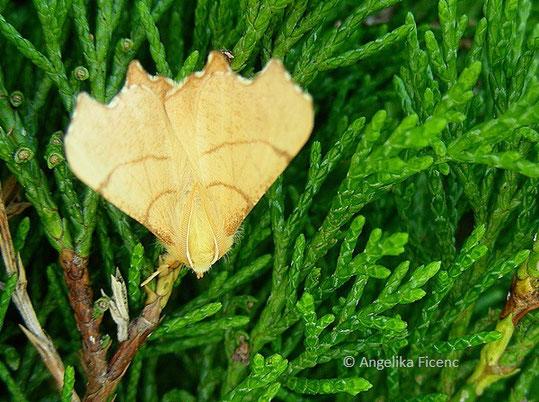 Birken-Zackenrandspanner (Ennomos erosaria),© Mag. Angelika Ficenc