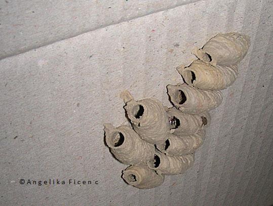 Orientalische Mauerwespe (Sceliphron curvatum), Lehmtönnchen, Puppe, Insekt, Gelege, tierspuren.at