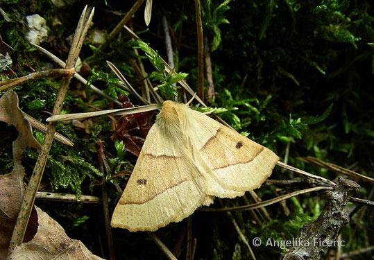 Heller Schmuckspanner (Crocallis elinguaria), Nachtfalter, Spanner, Geometridae, Tierportraits, tierspuren.at