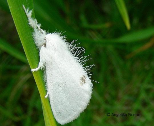 Schwan (Sphrageidus similis), © Mag. Angelika Ficenc