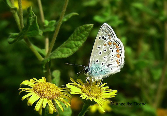 Hauhechel Bläuling (Polyommatus icarus),  © Mag. Angelika Ficenc