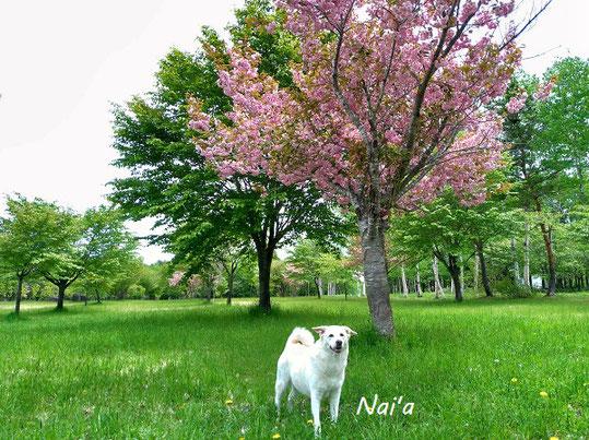 安比高原 桜 5月下旬 愛犬とドライブ