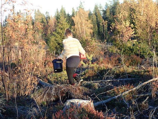 Mit Eimer und Beerenkamm beim Beerenpflücken in Schweden