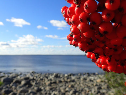 Frucht der Ebersche, Schweden am Meer