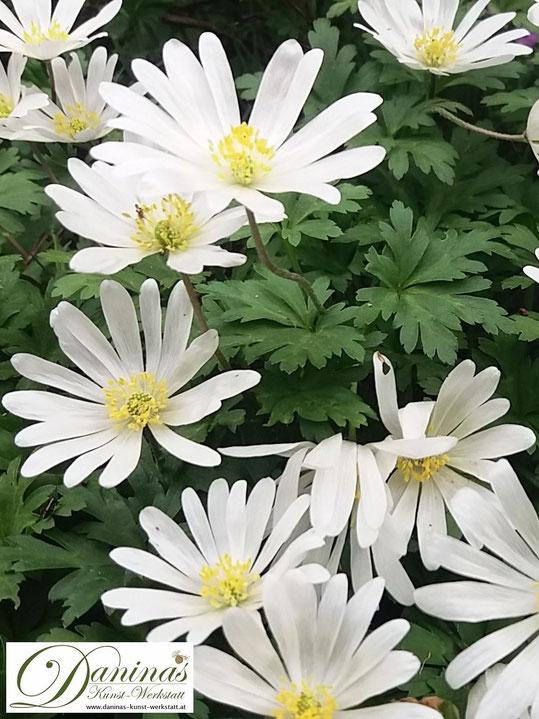 Weiße Frühlings-Anemonen (Balkan Windröschen) sind Sonnenanbeter und Dauerblüher