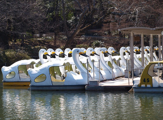 2月13日(2015) 整列した白鳥(ボート):井の頭公園にて