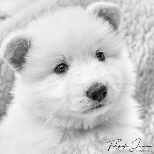 Fotografie, Jeronimo, Roosendaal, Brabant, dierenfotografie, hondenfotografie, witte herder, pup, puppy
