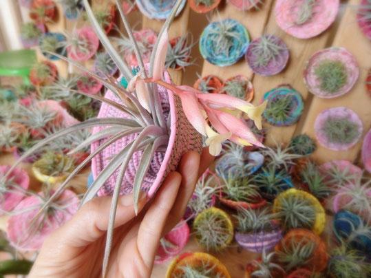 plant épyphite, tillandsia, fixée à une coque réalisée en rcyclage textile par Sonia Medina