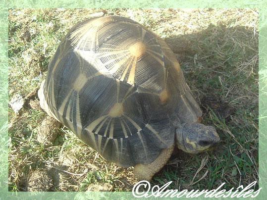 Très beau mâle Radiata...