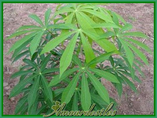 Plant de Manioc